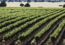 Carrascas, un proyecto vitivinícola pegado al terruño en Albacete