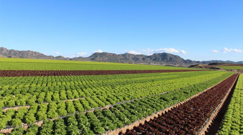 Almería: El mayor proyecto de investigación de agricultura de hoja al aire libre