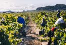 El Cava cierra una excelente vendimia con 300 millones de kilos de uvas